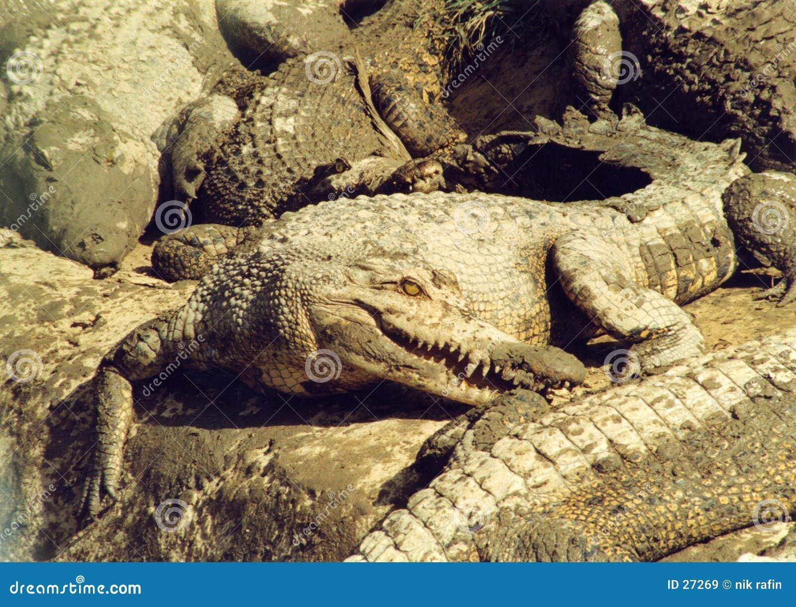 港湾的鳄鱼