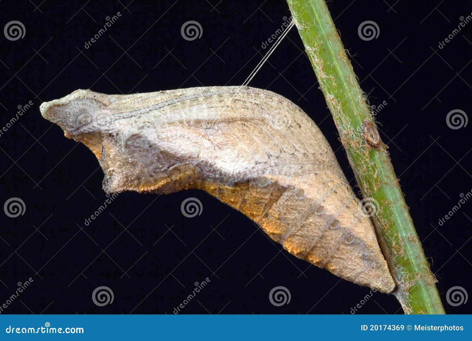 2个蝴蝶蛹swallowtail图片