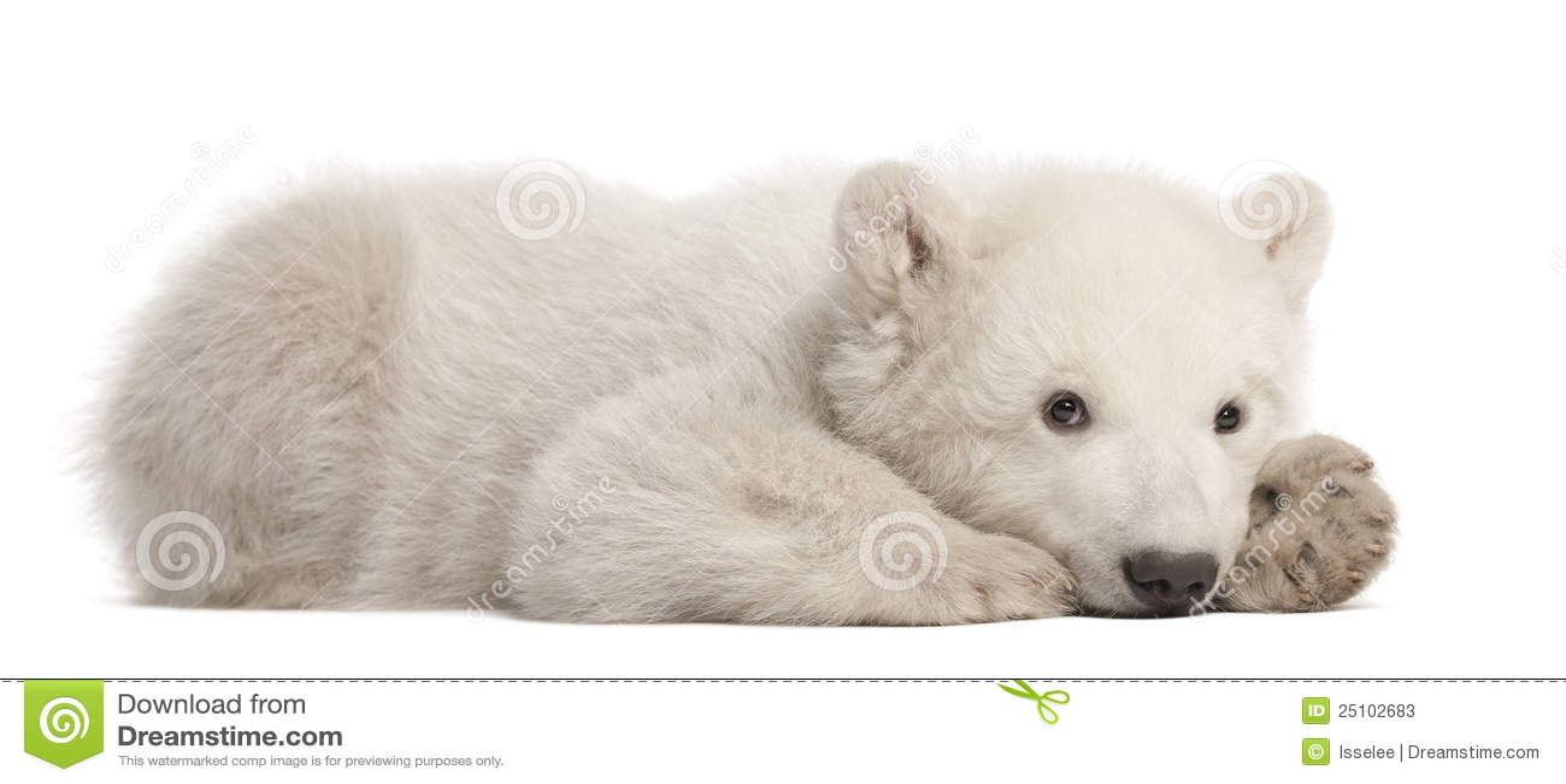 3个小熊maritimus月极性熊属类