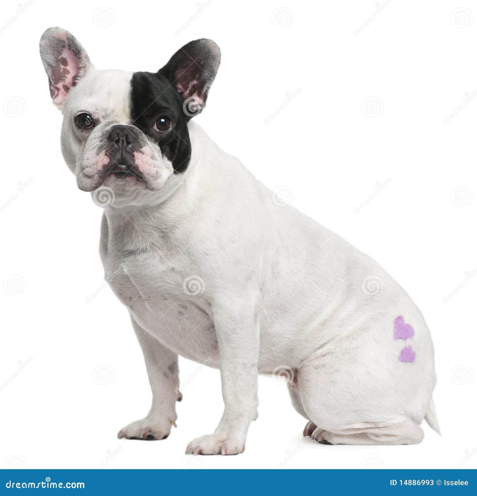3牛头犬法语我老坐的纹身花刺岁月