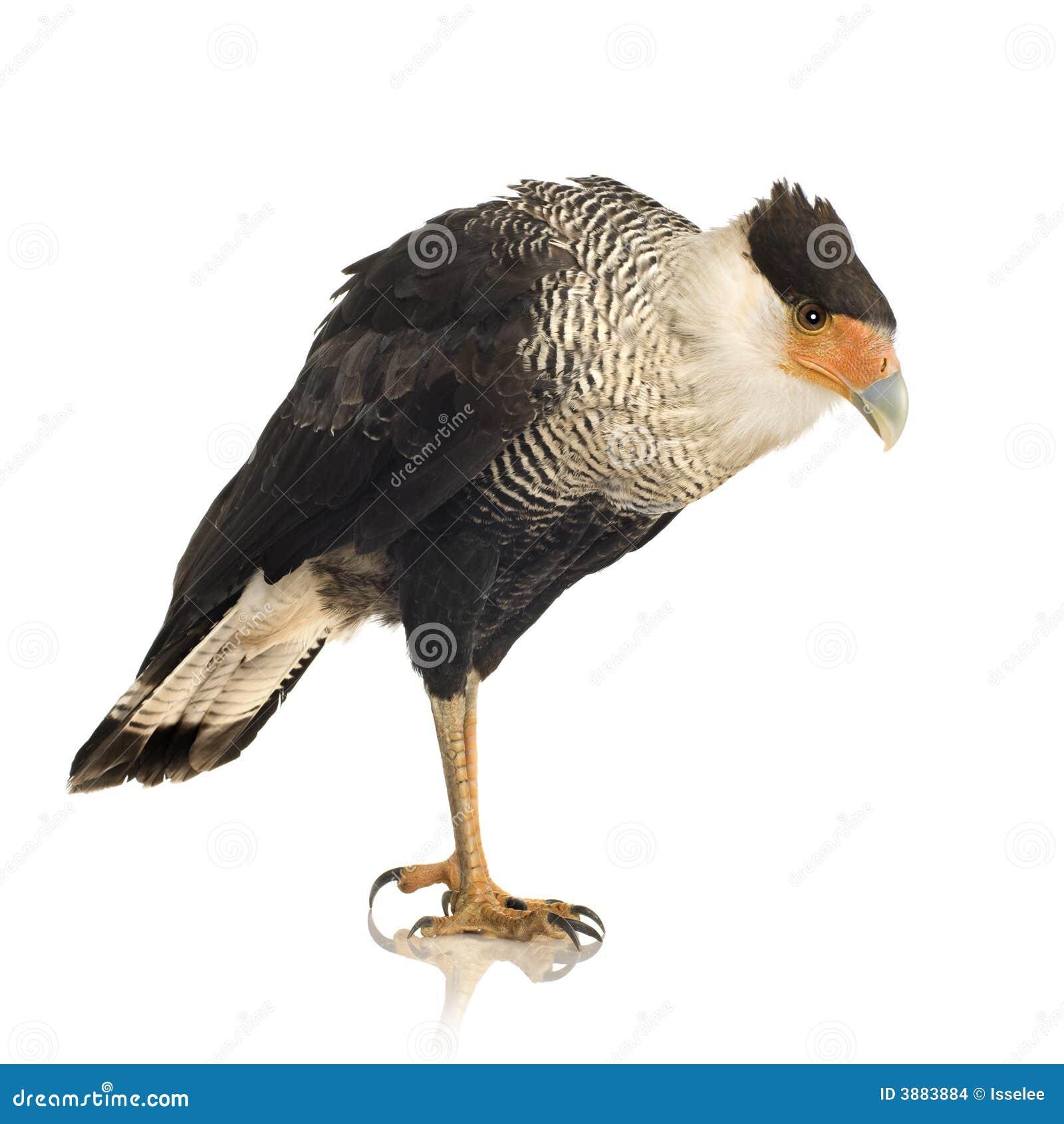 3长腿兀鹰plancus polyborus南部的年