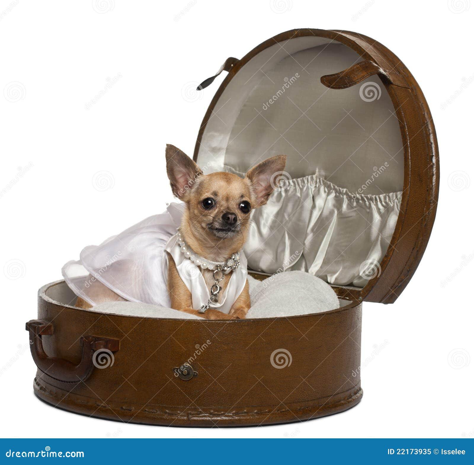 bröllop 3 år 3 år För Bröllop För Chihuahuaklänning Gammala Fotografering för  bröllop 3 år