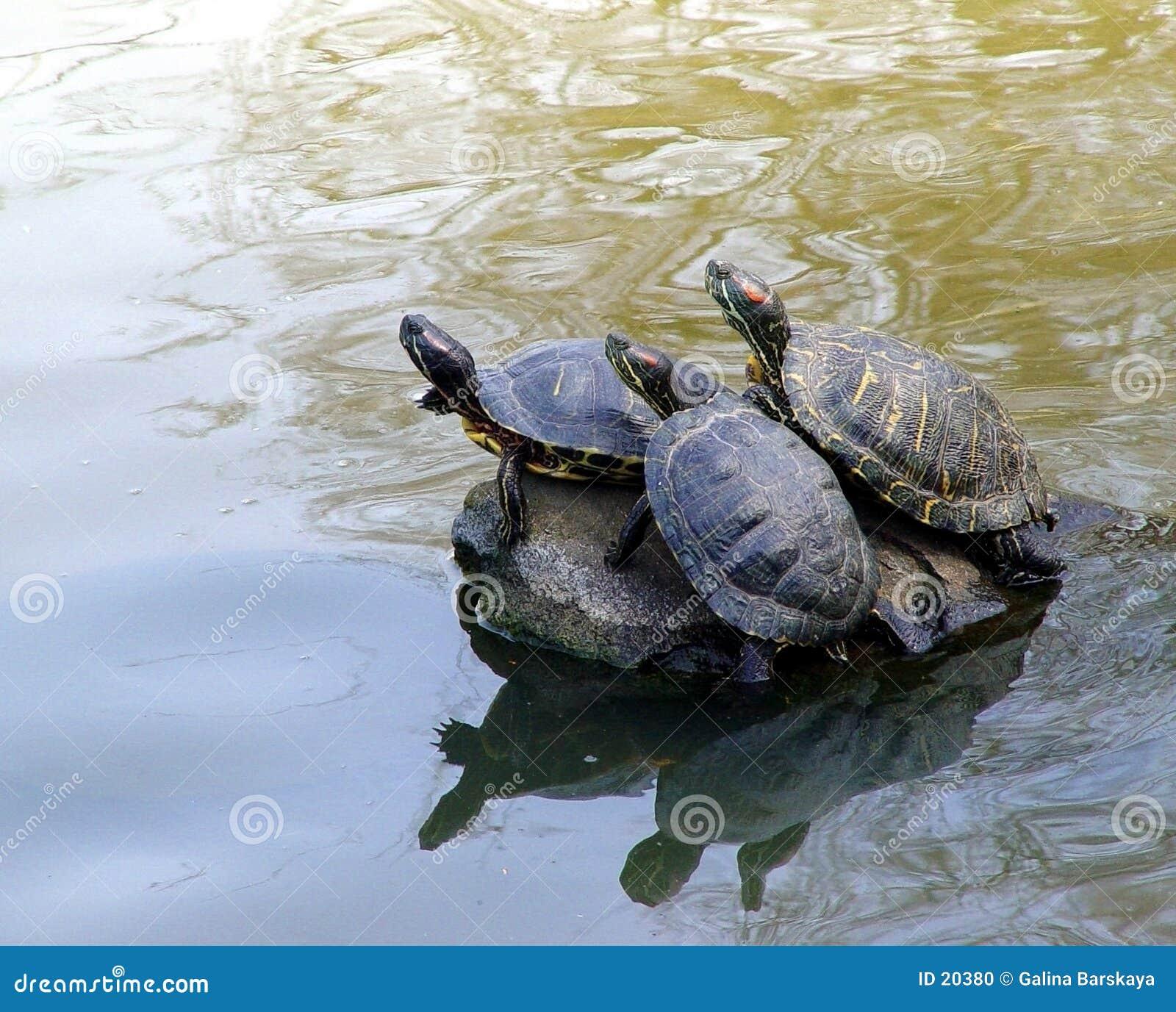 3 черепахи