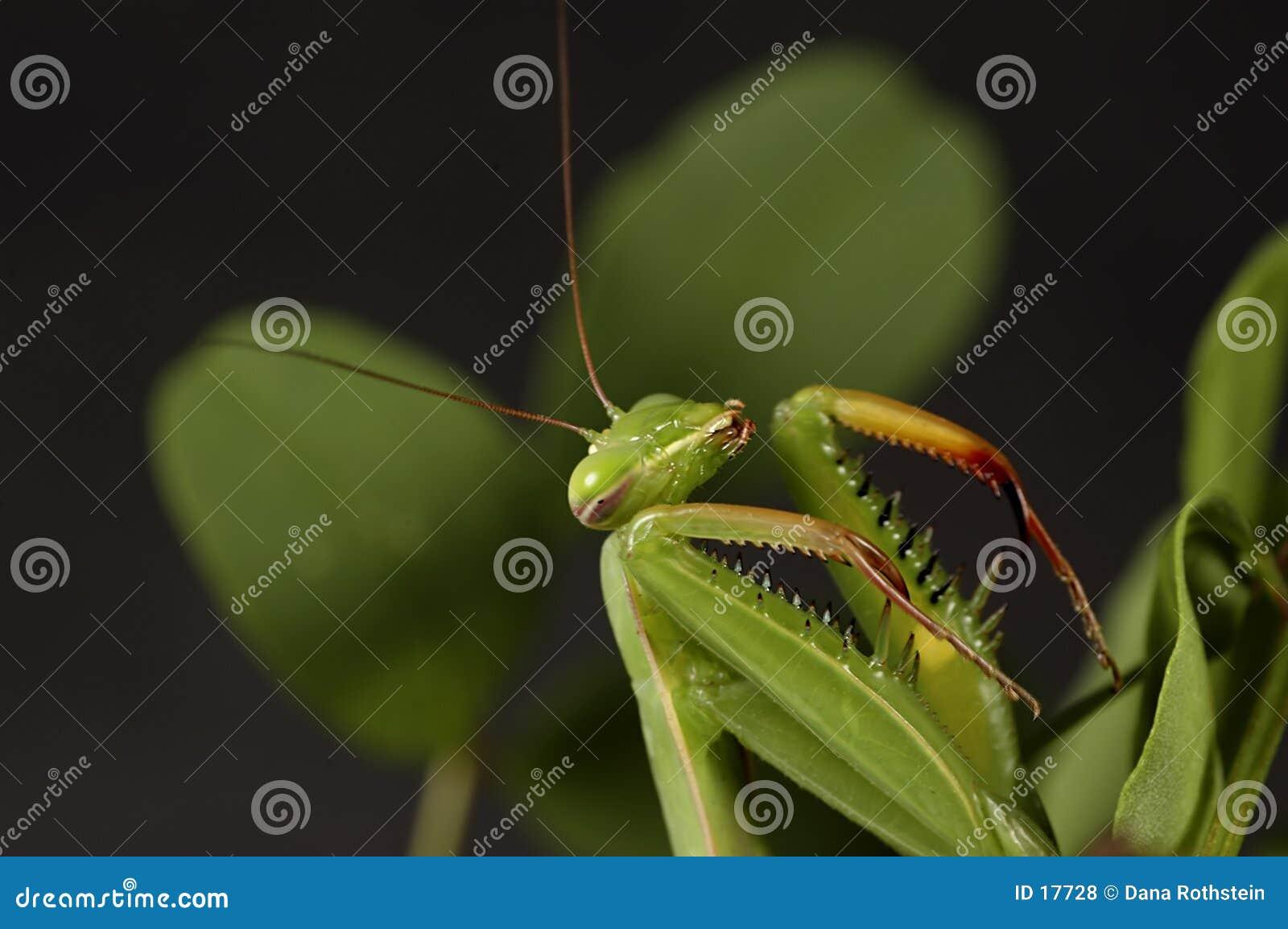 3捕食的螳螂