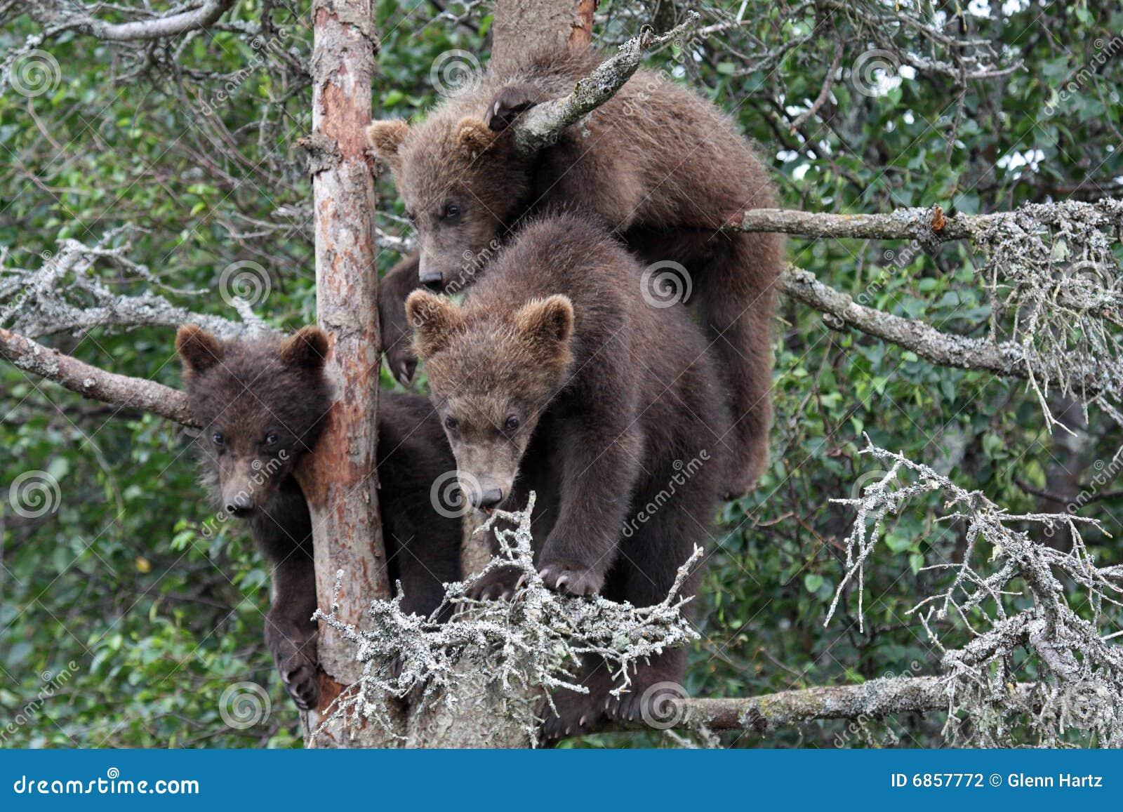 3 6 lisiątek grizzly drzewo