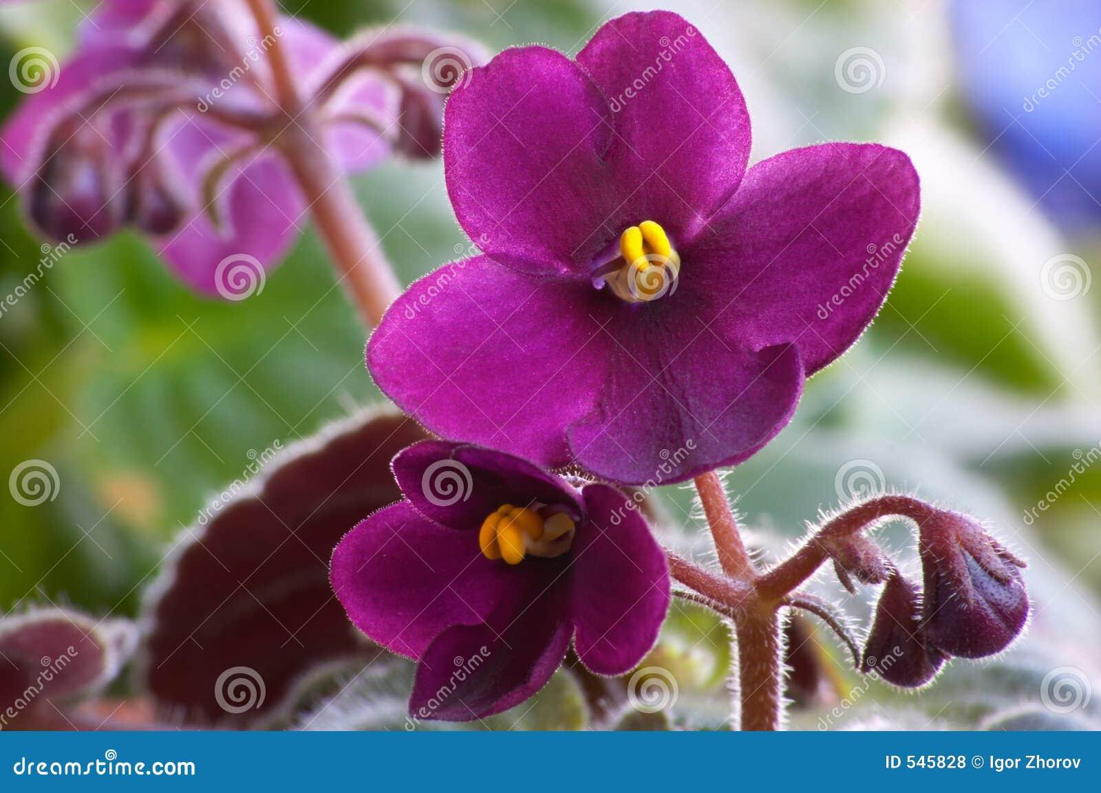 Download 3 african viole 库存照片. 图片 包括有 破擦声, 叶子, 抗癌, 绿色, 茂盛, 开花的, 工厂 - 545828