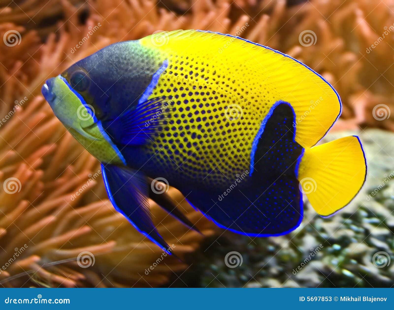 3 blue angelfish girdled