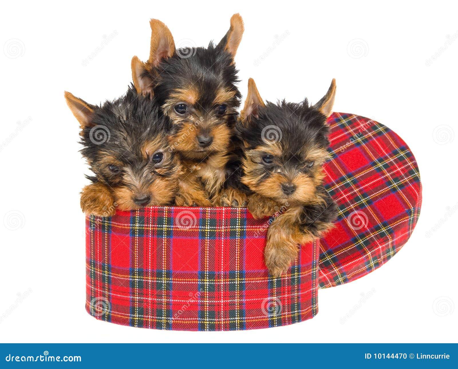 3 Cute Yorkie Pups Sitting Inside Tartan Gift Box Stock