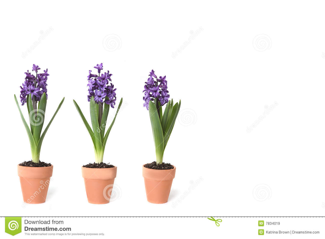 3 hyacinth bulbs sprouting in clay pots stock image image 7834019 - Planting hyacinths pots ...