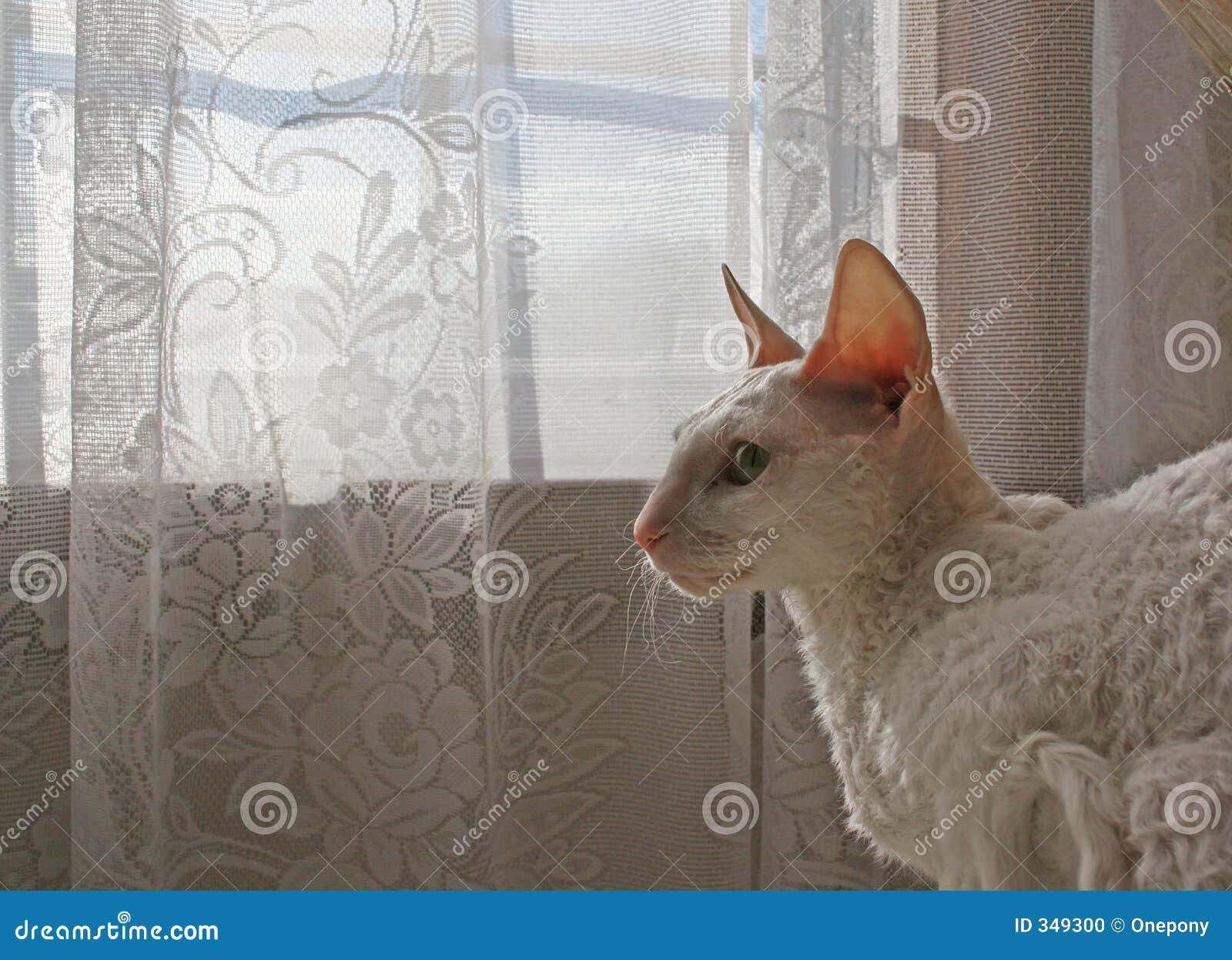 3 Kotów Cornish Rex Zdjęcie Stock Obraz Złożonej Z Biały 349300