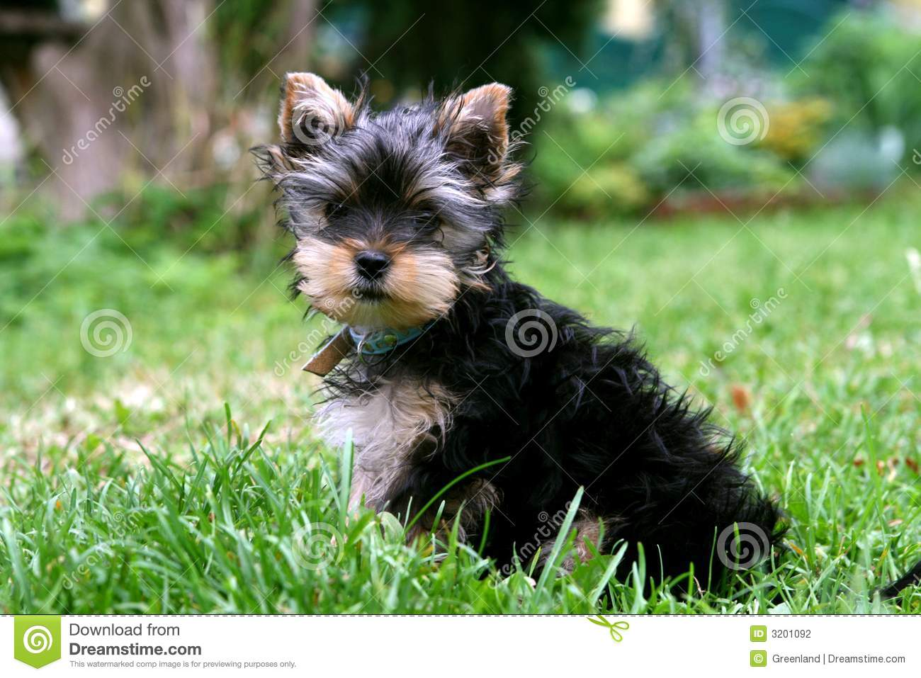 3 Months Old Yorkshire Stock Photo Image Of Terrier Yorkshire