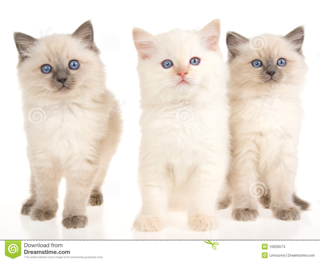 Ragdoll Kittens On White Background Stock Images - Image  10626574