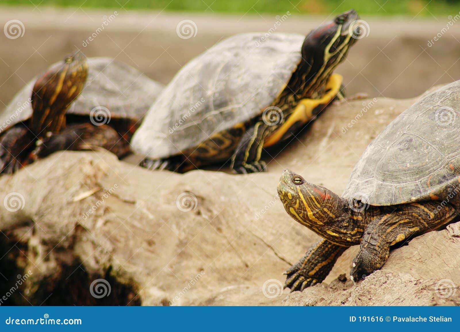 3 tartarughe
