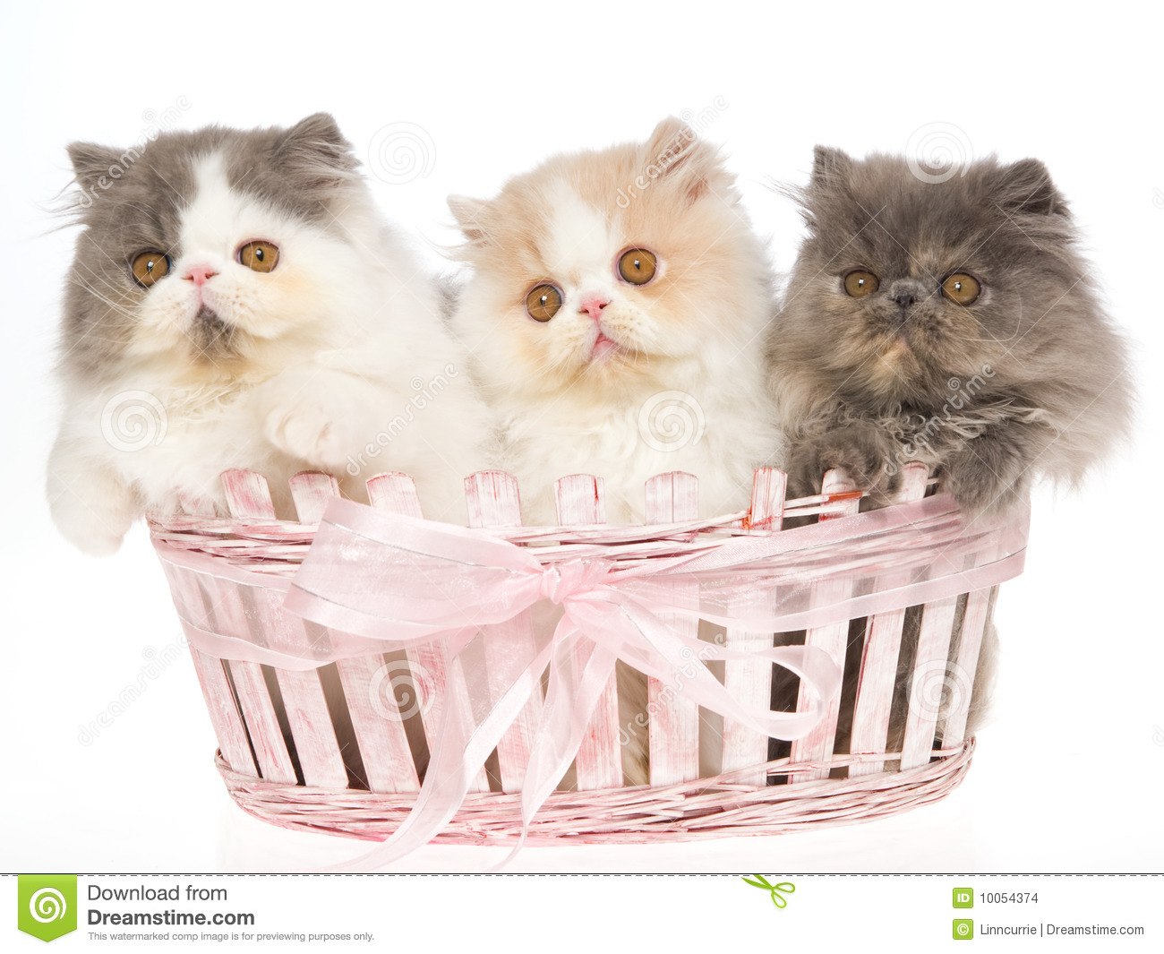 3 Very Cute Persian Kittens In Pink Basket Stock Image