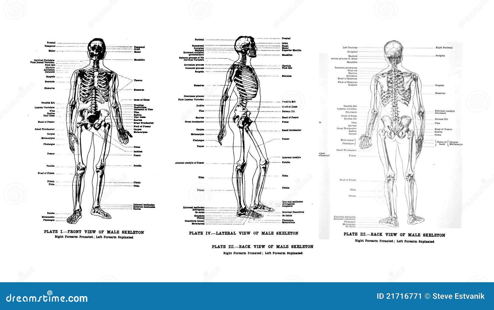 Anatomía humana stock de ilustración. Ilustración de corazón - 15497669