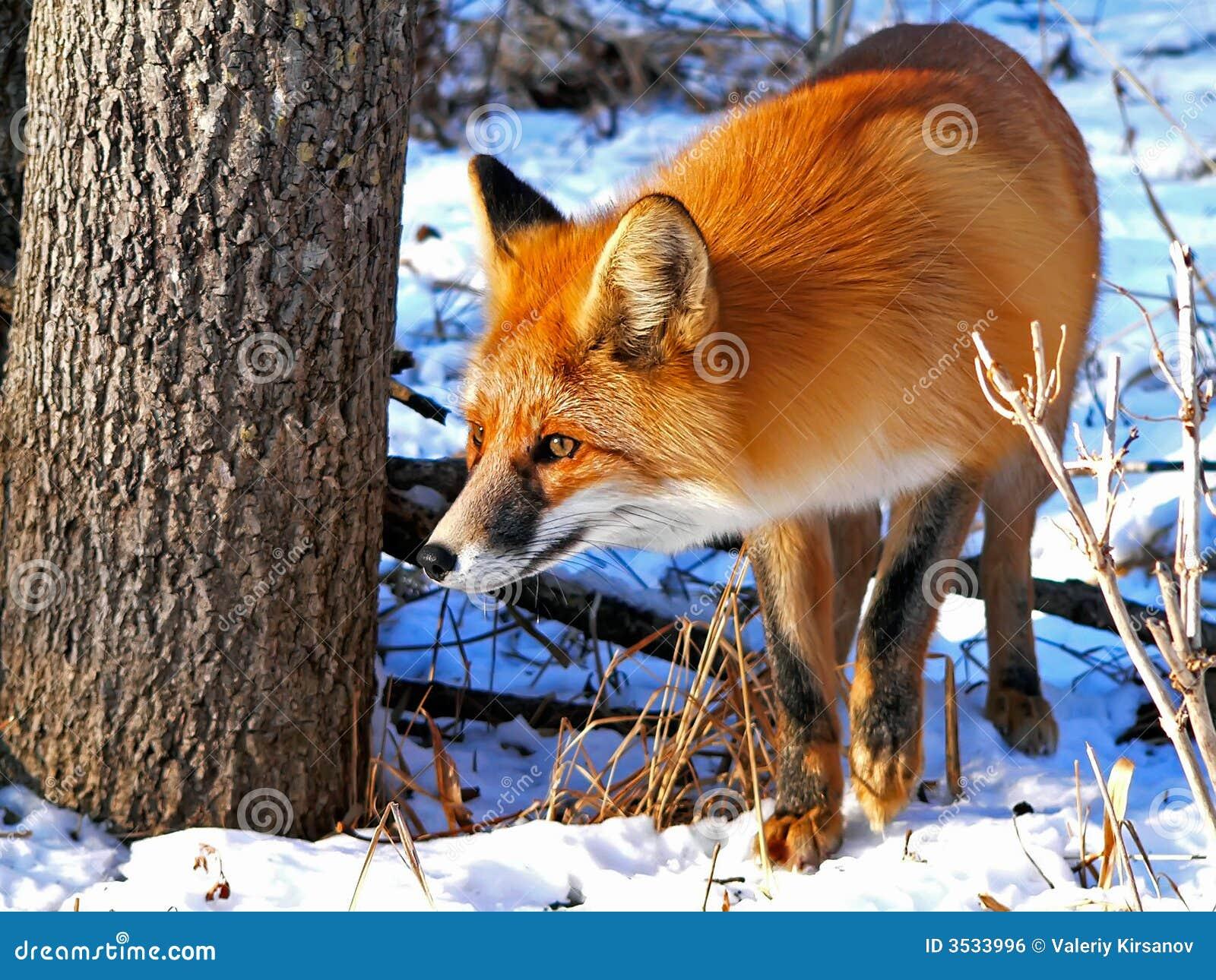 34只狐狸红色