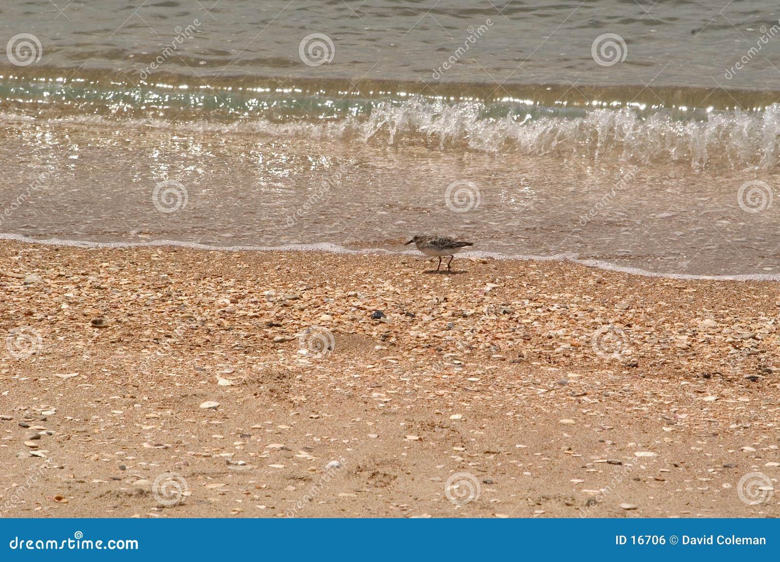 追逐海浪的臭虫