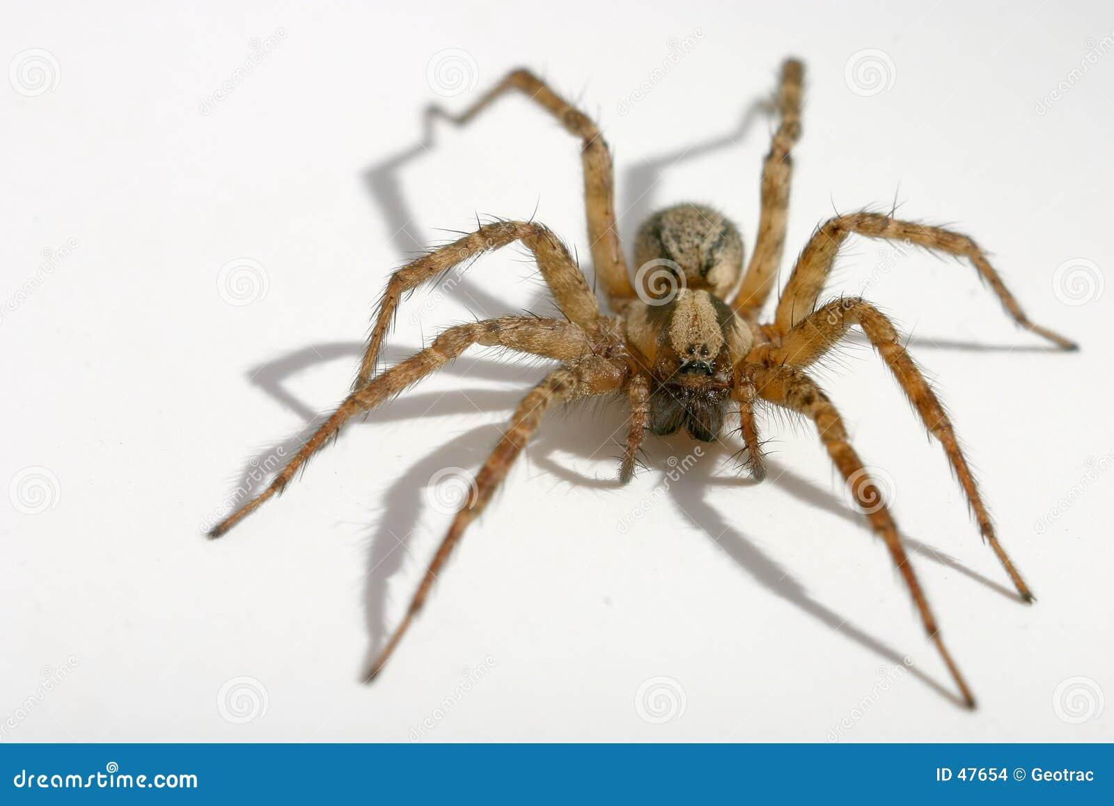 长毛的蜘蛛