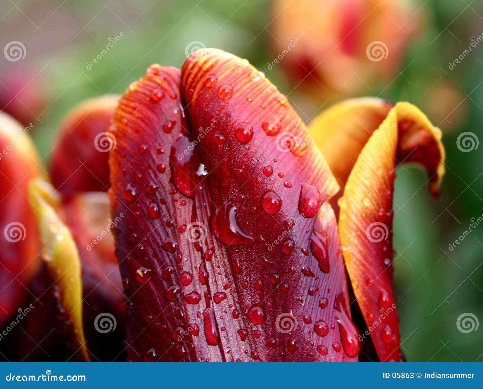 雨红色郁金香黄色
