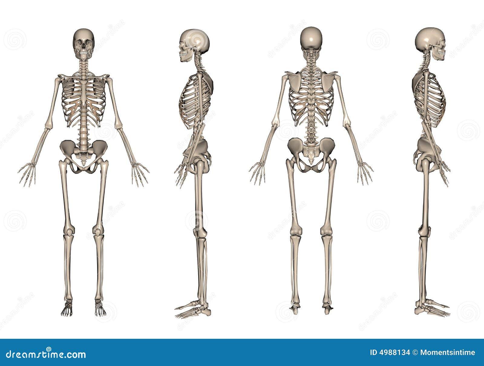 3D het skelet geeft