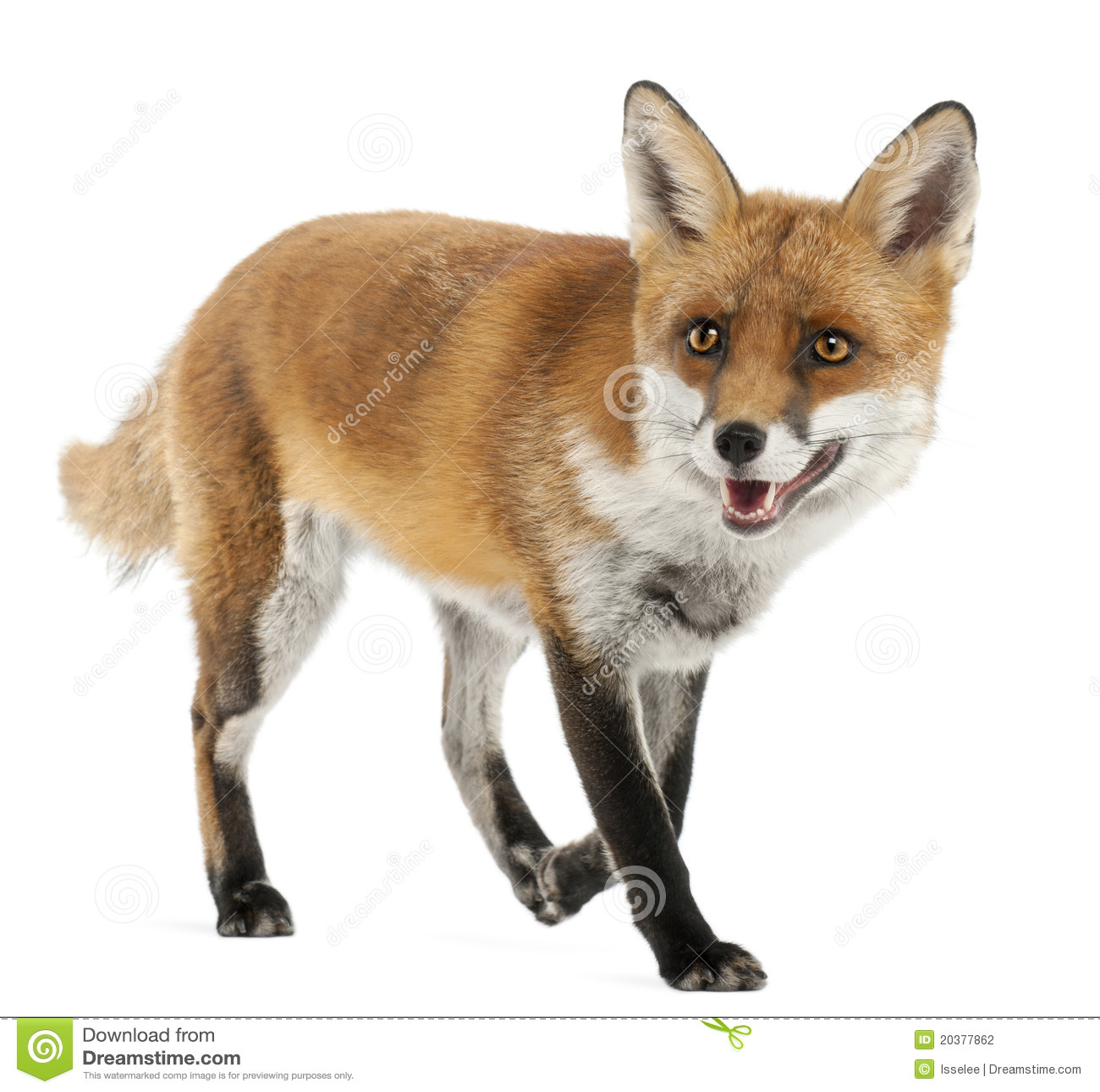 4狐狸老红色狐狸年