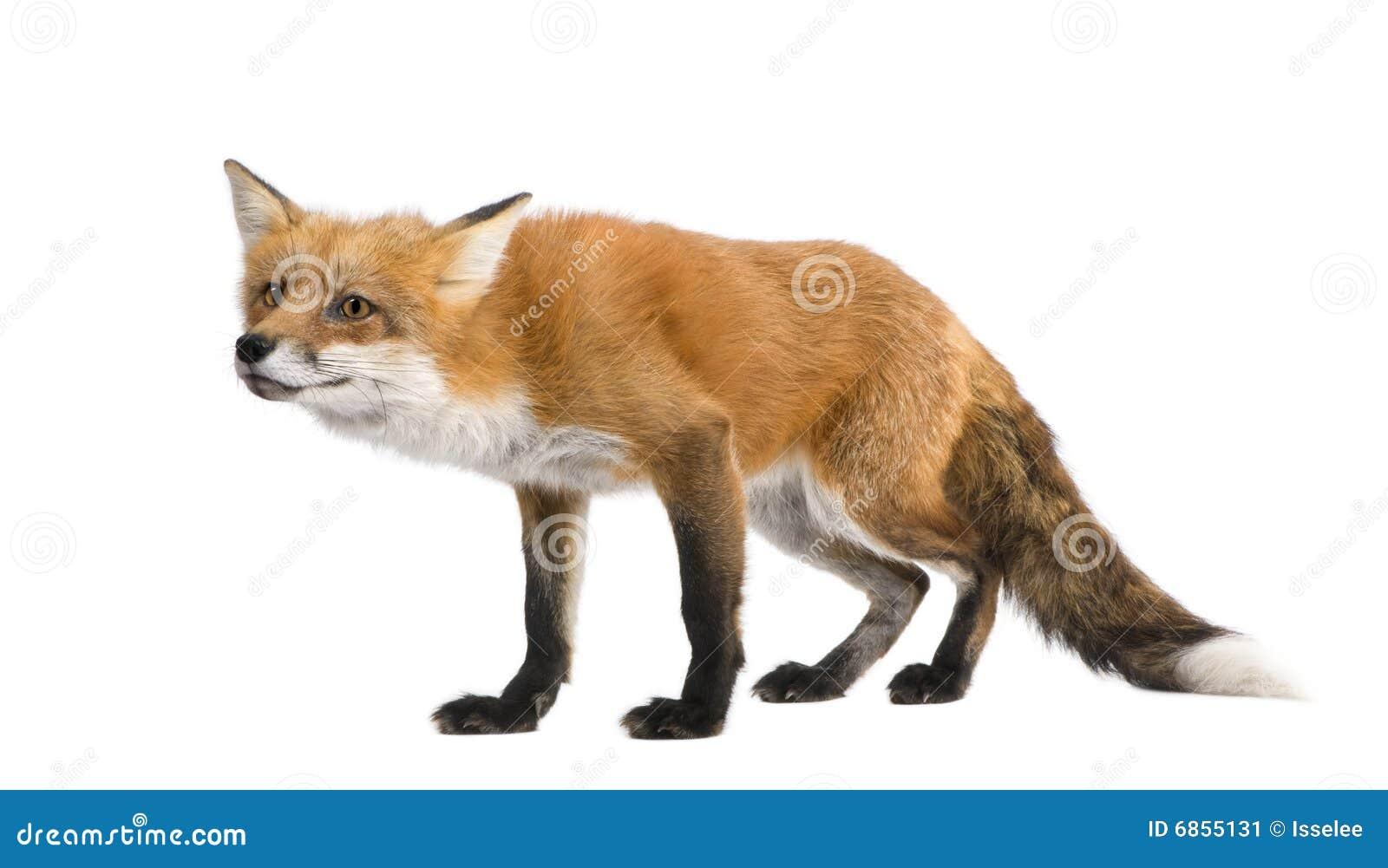 4 лет vulpes лисицы красных