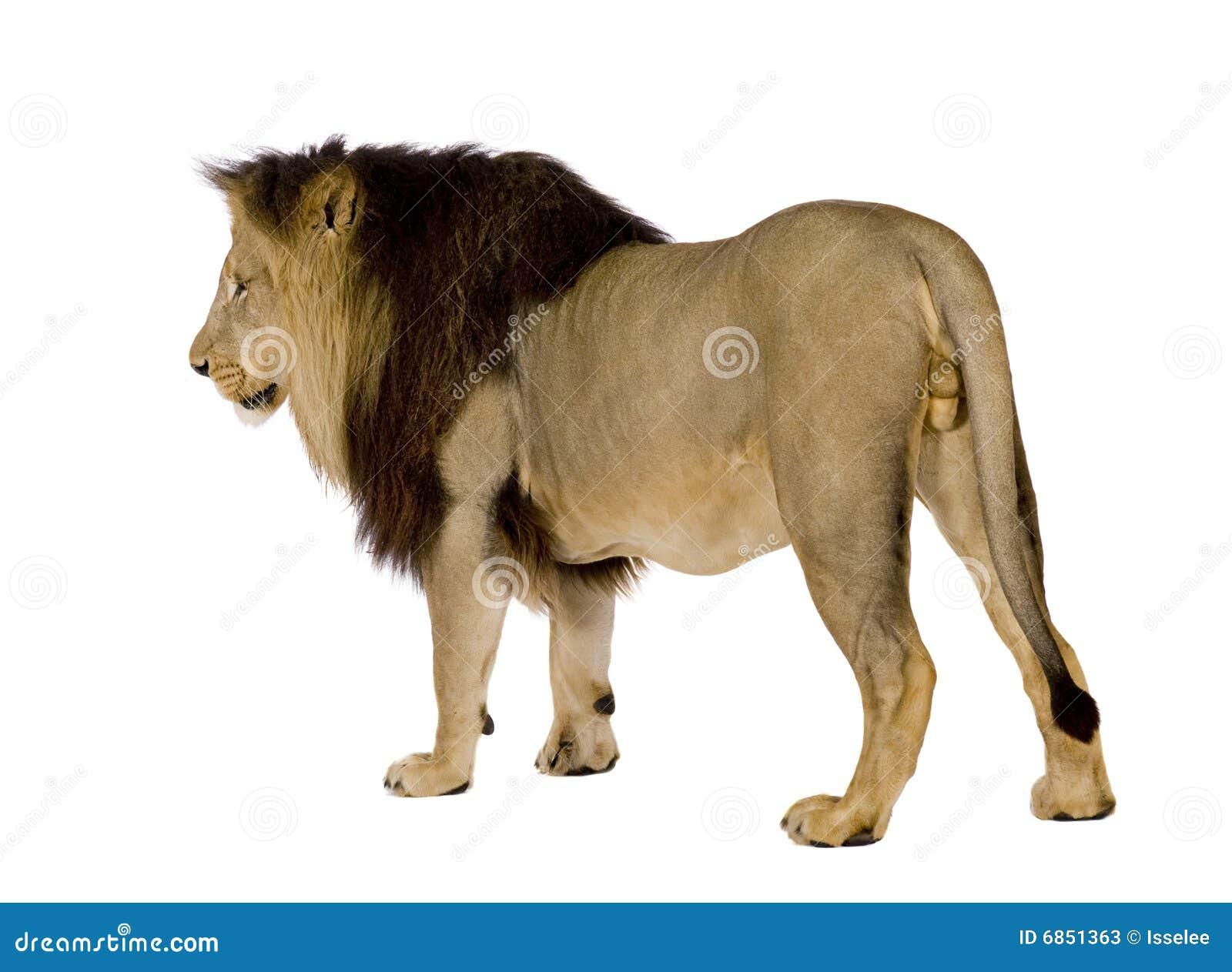 4 половинных лет panthera льва leo