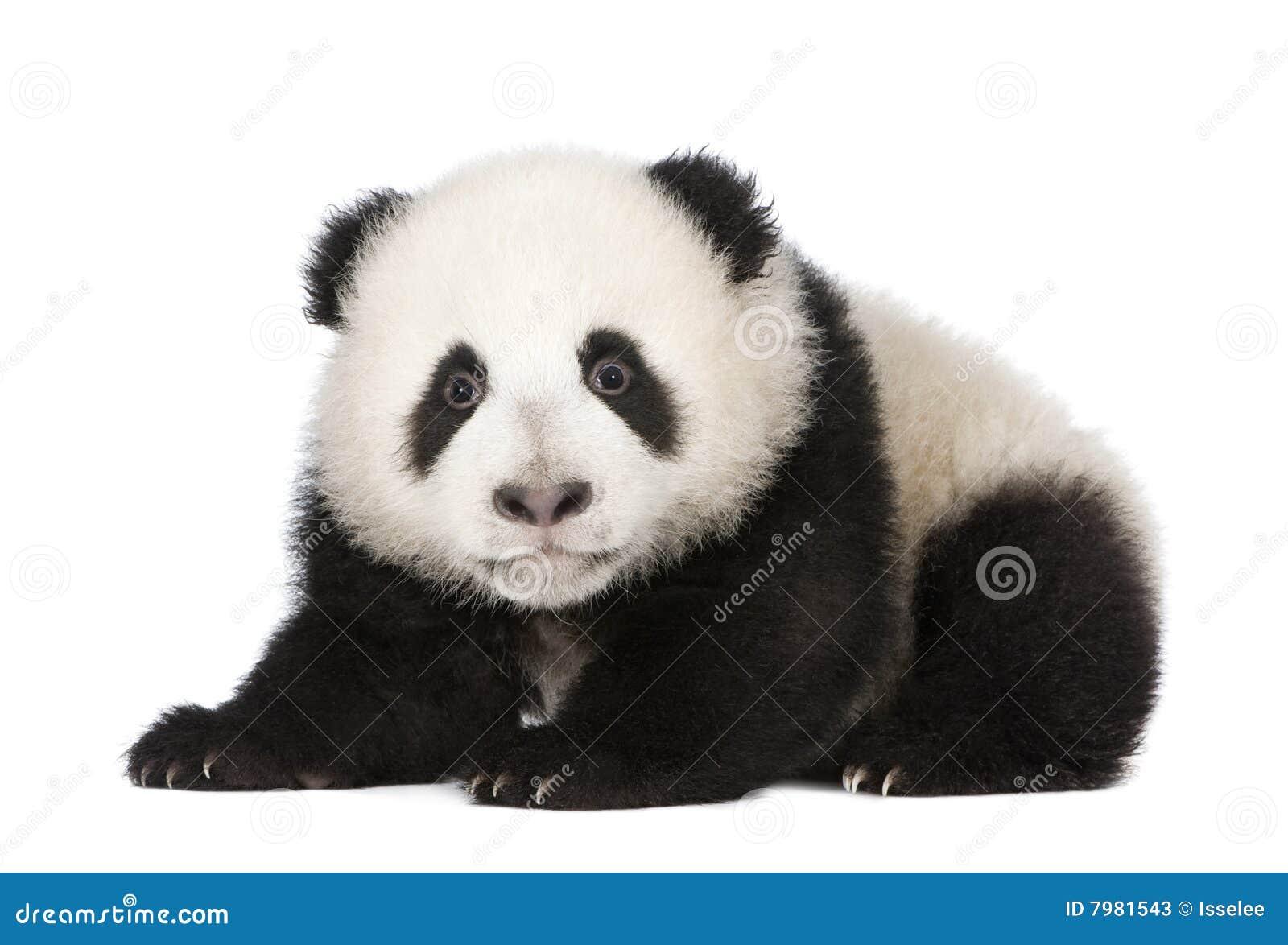 4 ailuropoda gigantyczna melanoleuca miesiąc panda