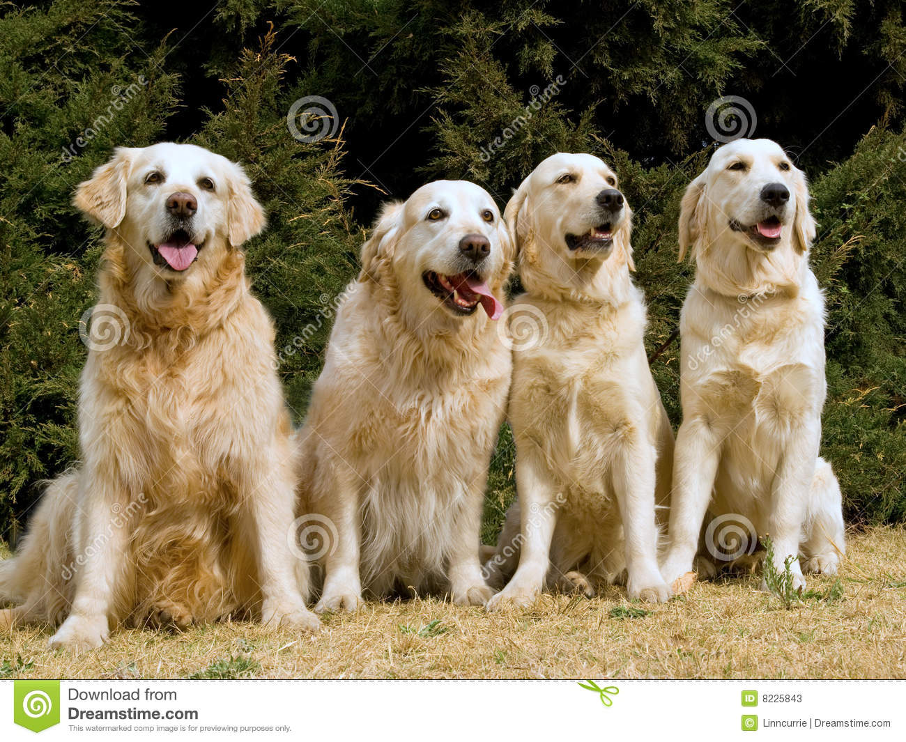 4 Beautiful Golden Retrievers Stock Image - Image of trained, pets: 8225843