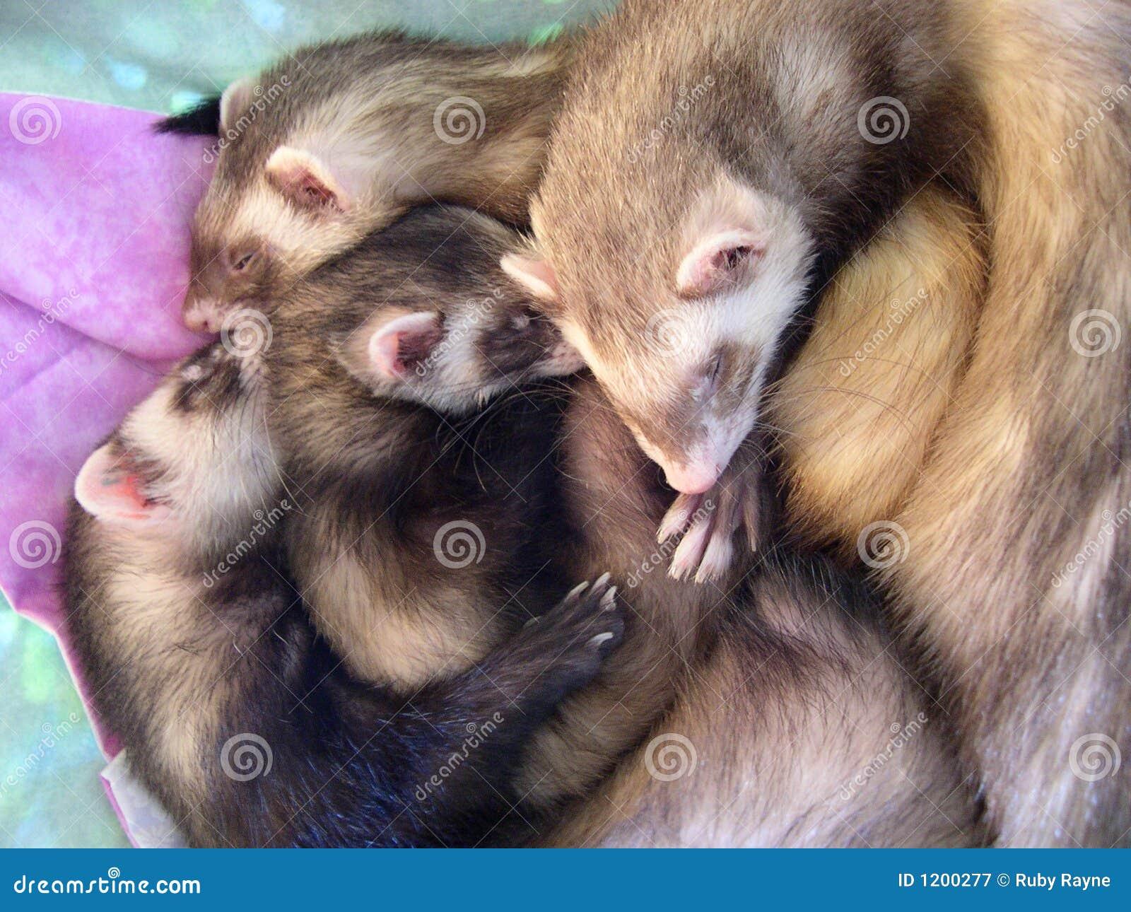 4 Beautiful Sleeping Ferrets