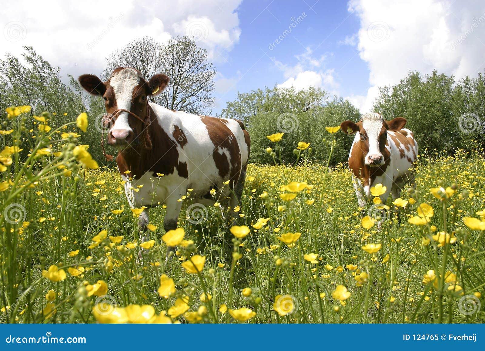 4 krów holendra krajobrazu