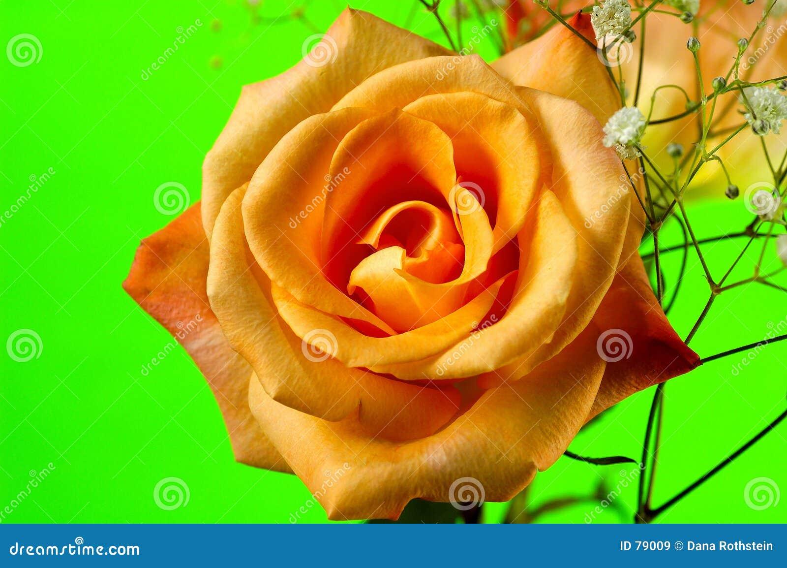 4 rose pomarańczy