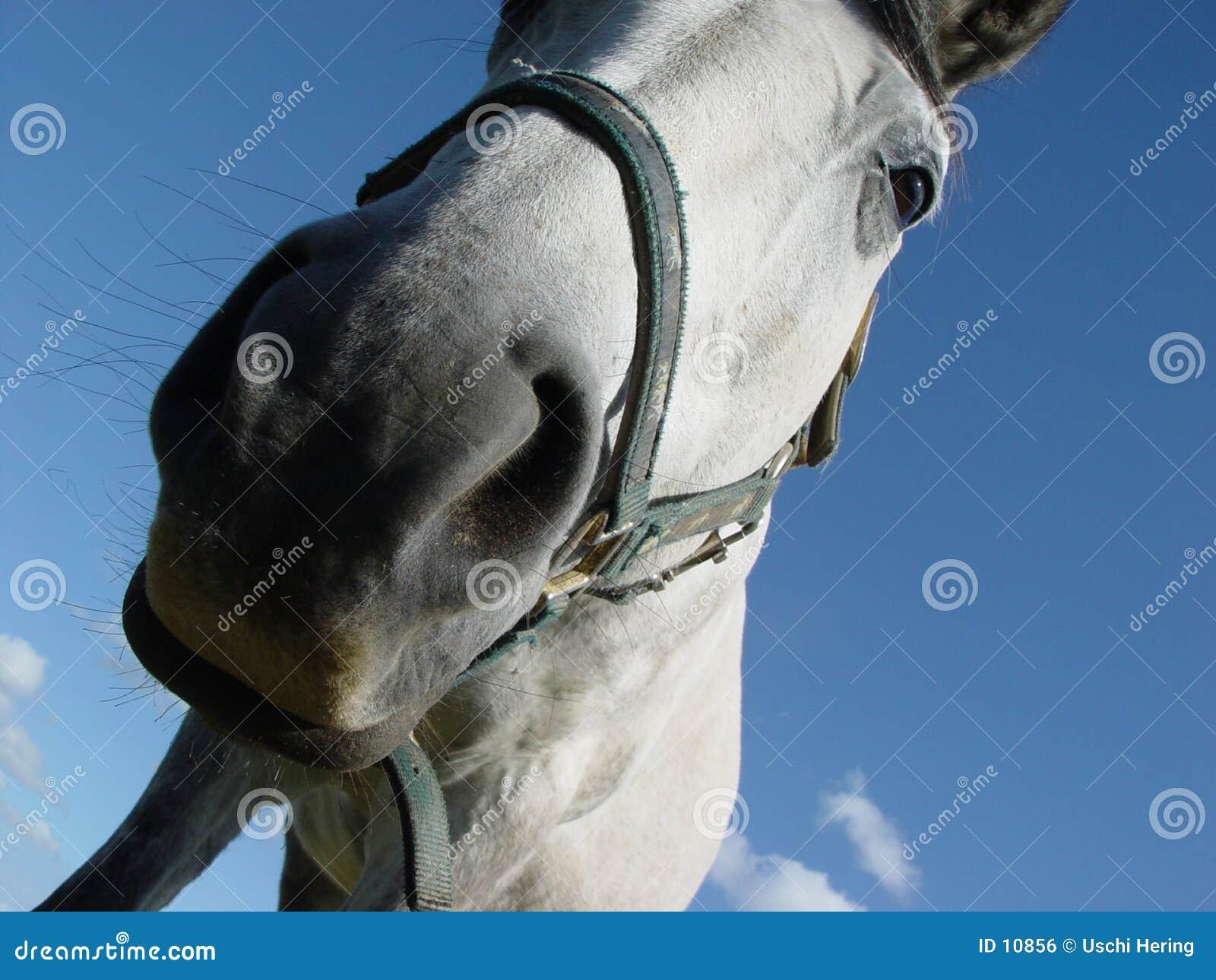 4 white horse