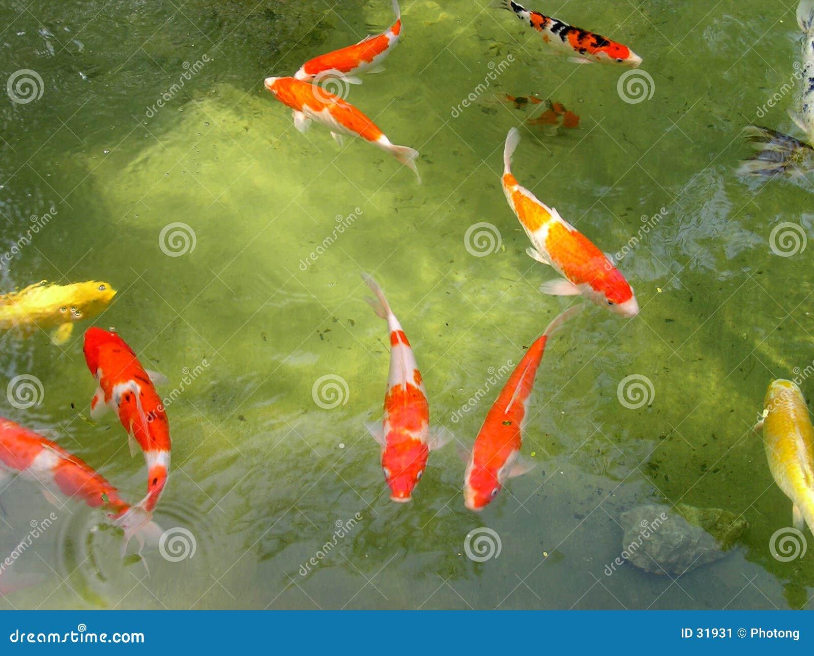 鱼koi池塘