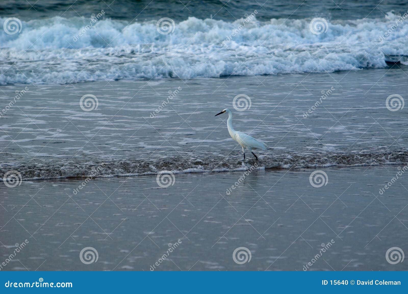 鸟捕鱼海浪