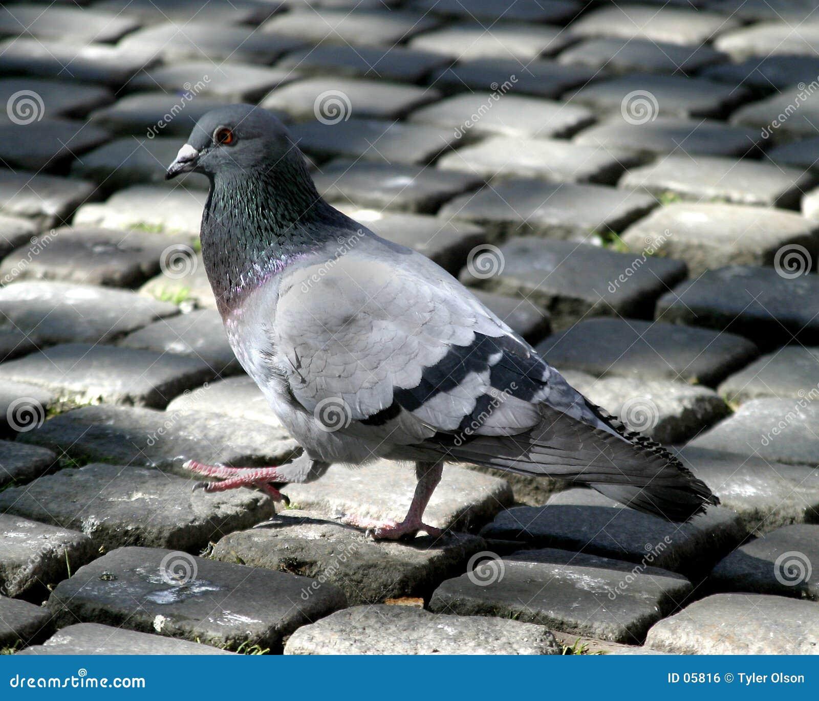 鹅卵石鸽子