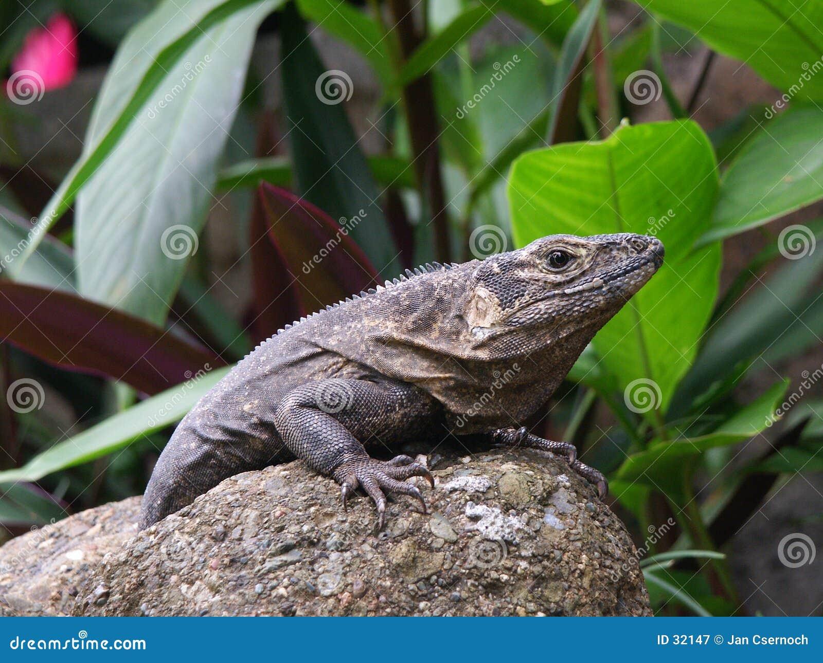 黑色鬣鳞蜥休息