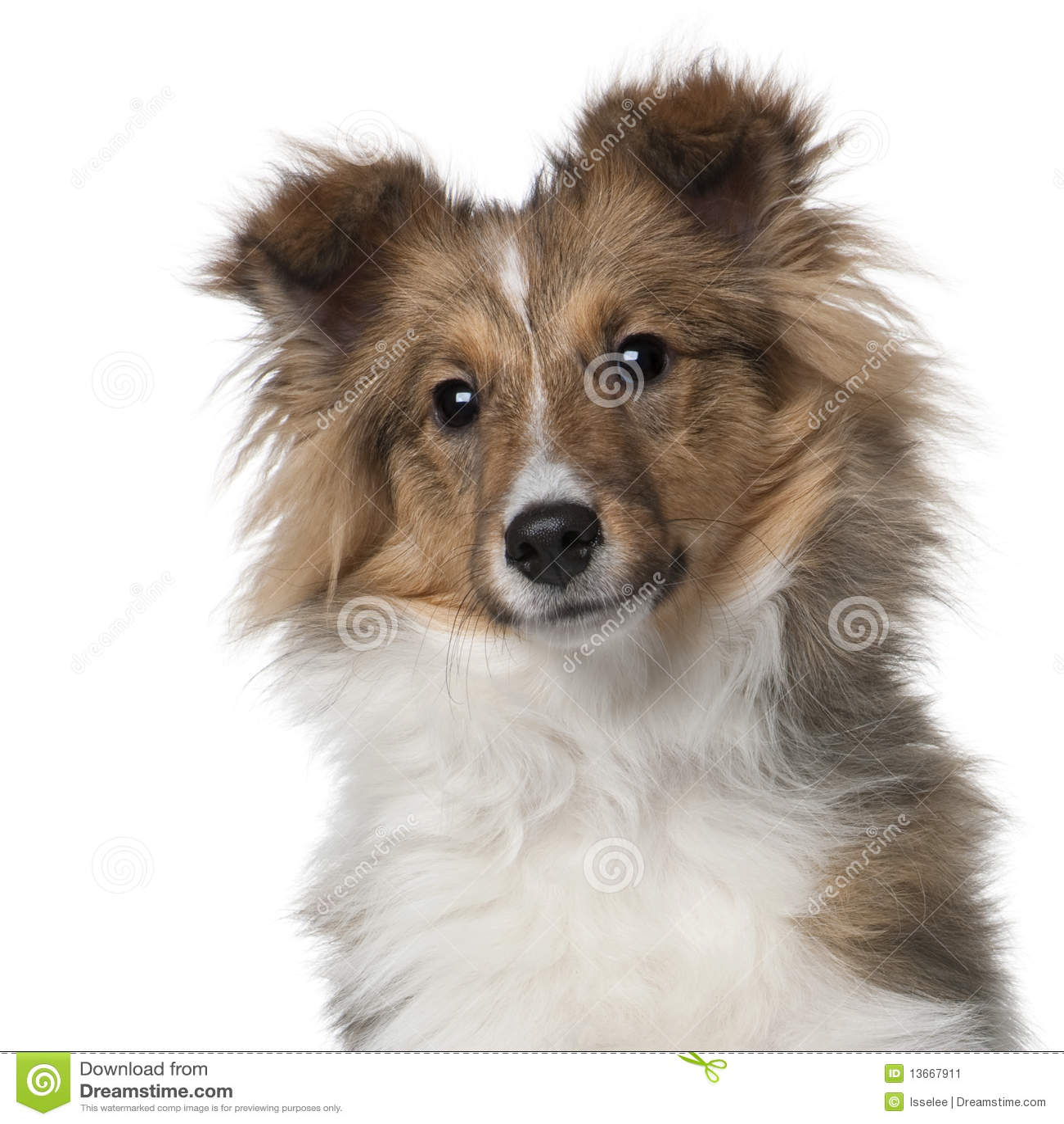 5个月小狗护羊狗舍德兰群岛