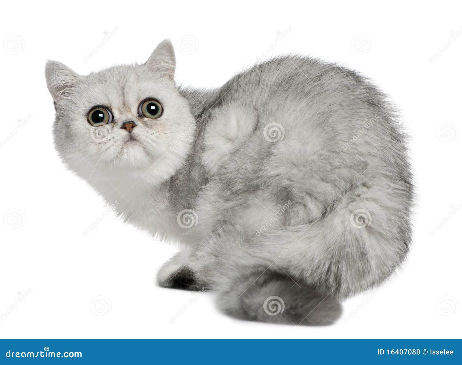 5个猫异乎寻常的月shorthair开会