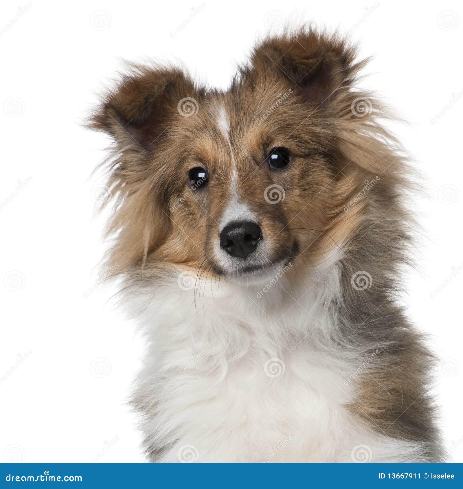 5 старого месяцев sheepdog shetland щенка