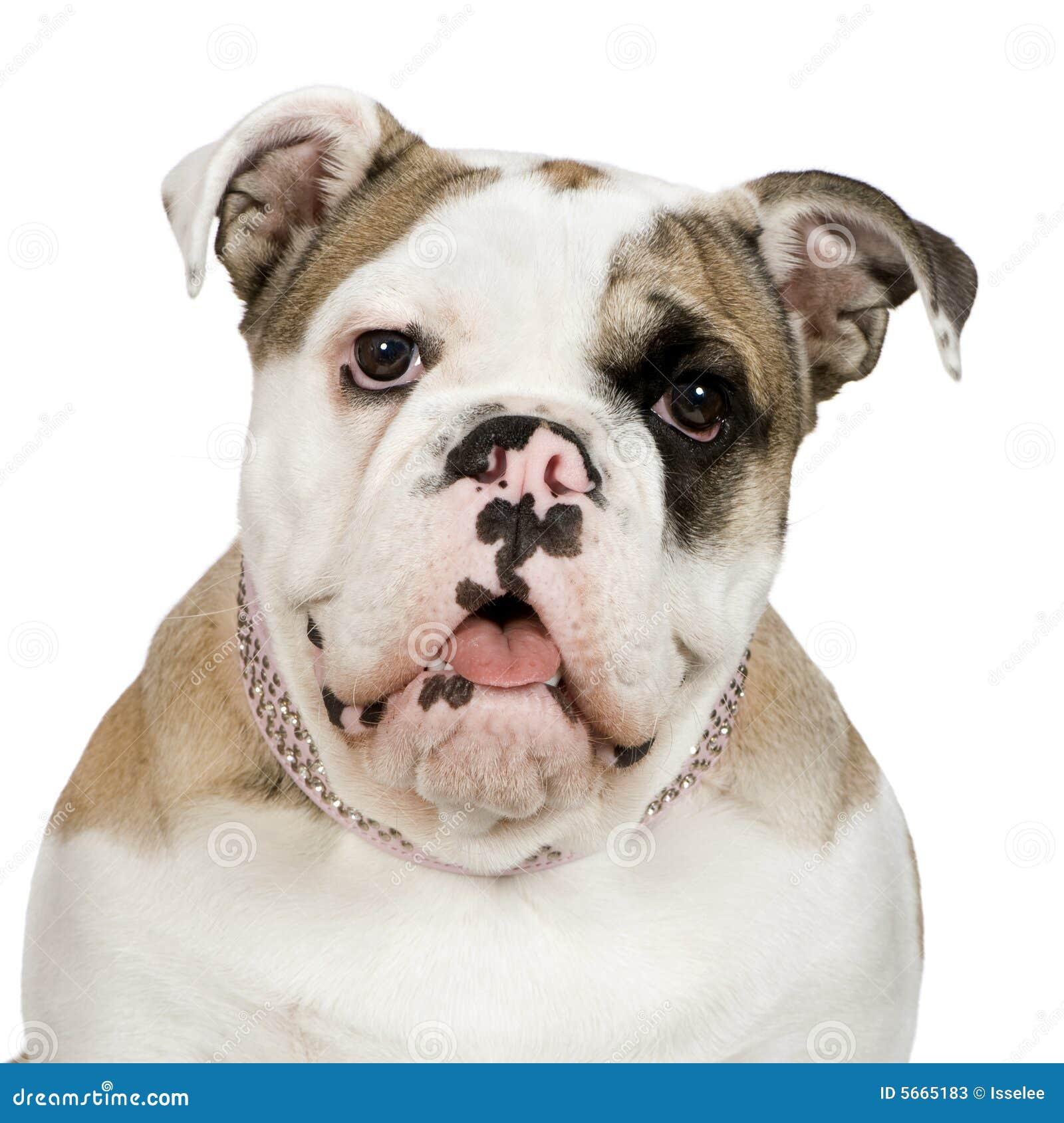 5 bulldoggengelskamånader