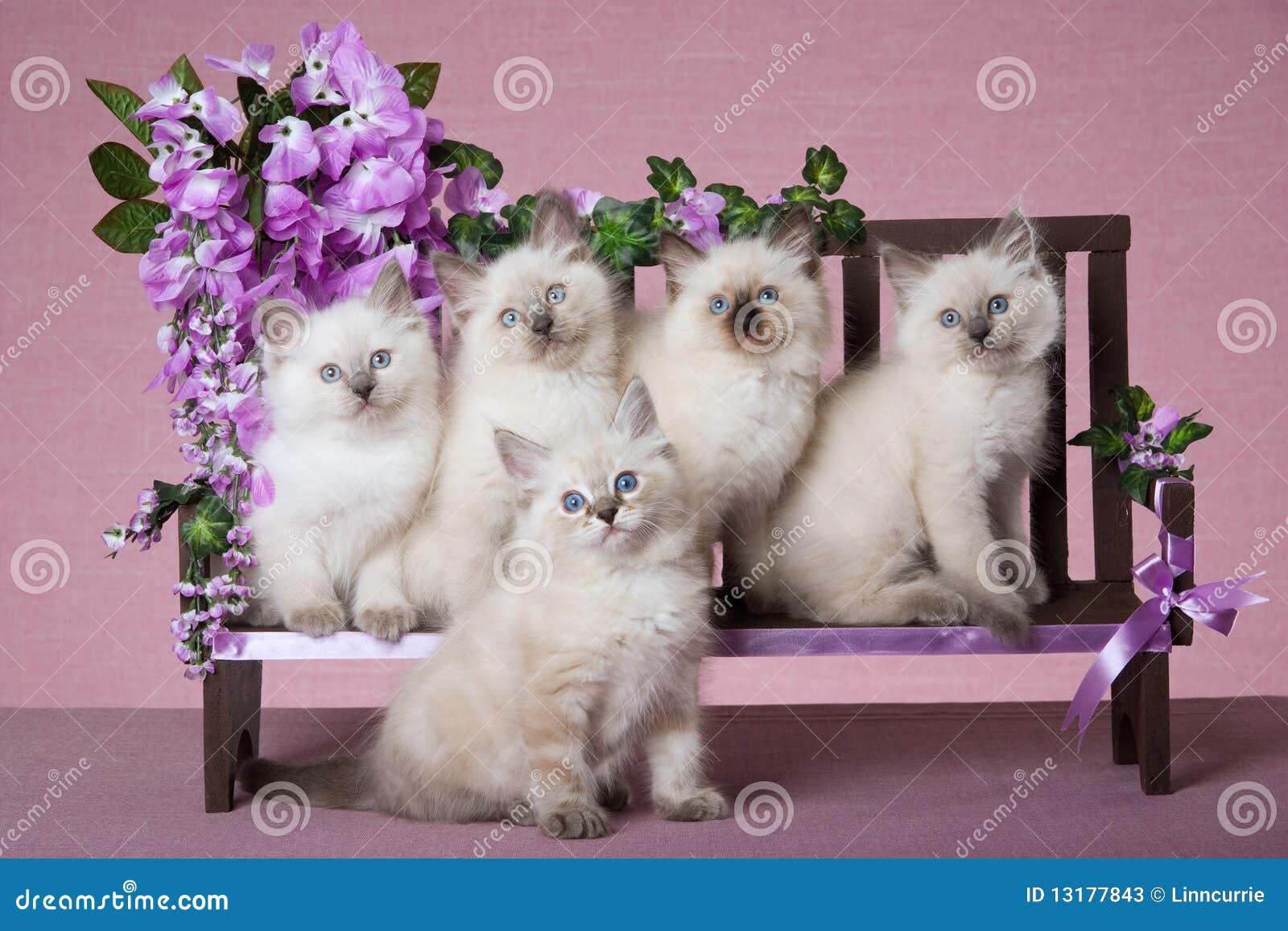 5 chatons de Ragdoll sur le mini banc