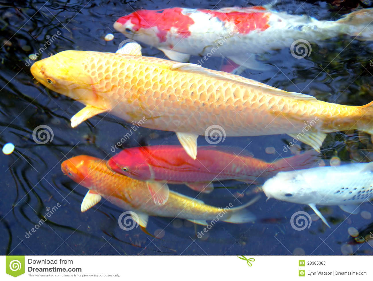 5 koi fish stock image image of animal japanese nature for Koi 5 muhavare
