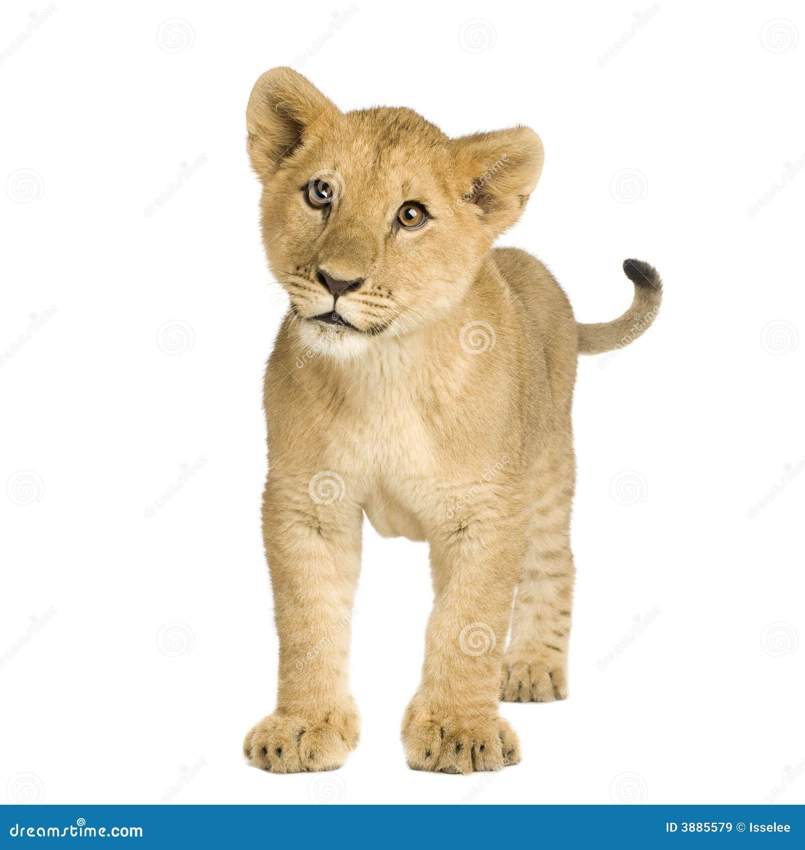 5 lwa młode miesięcy