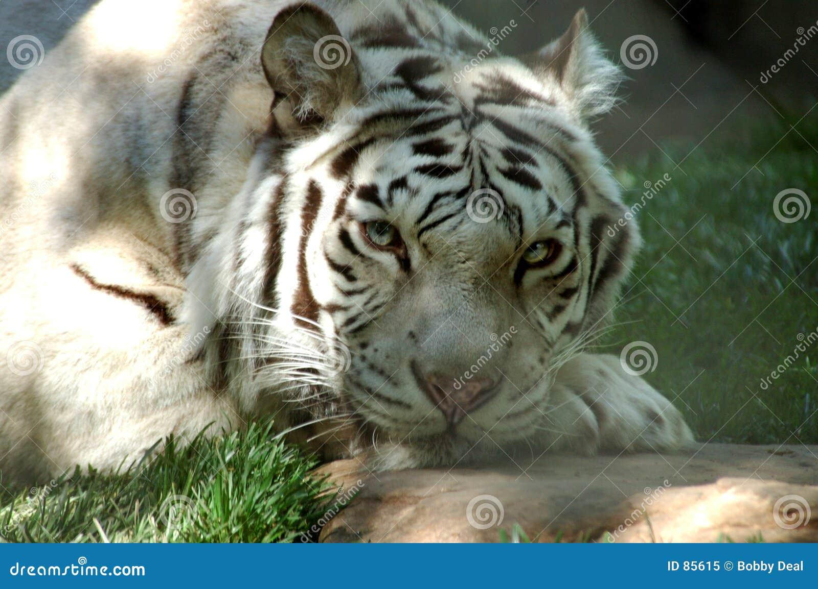 6只老虎白色