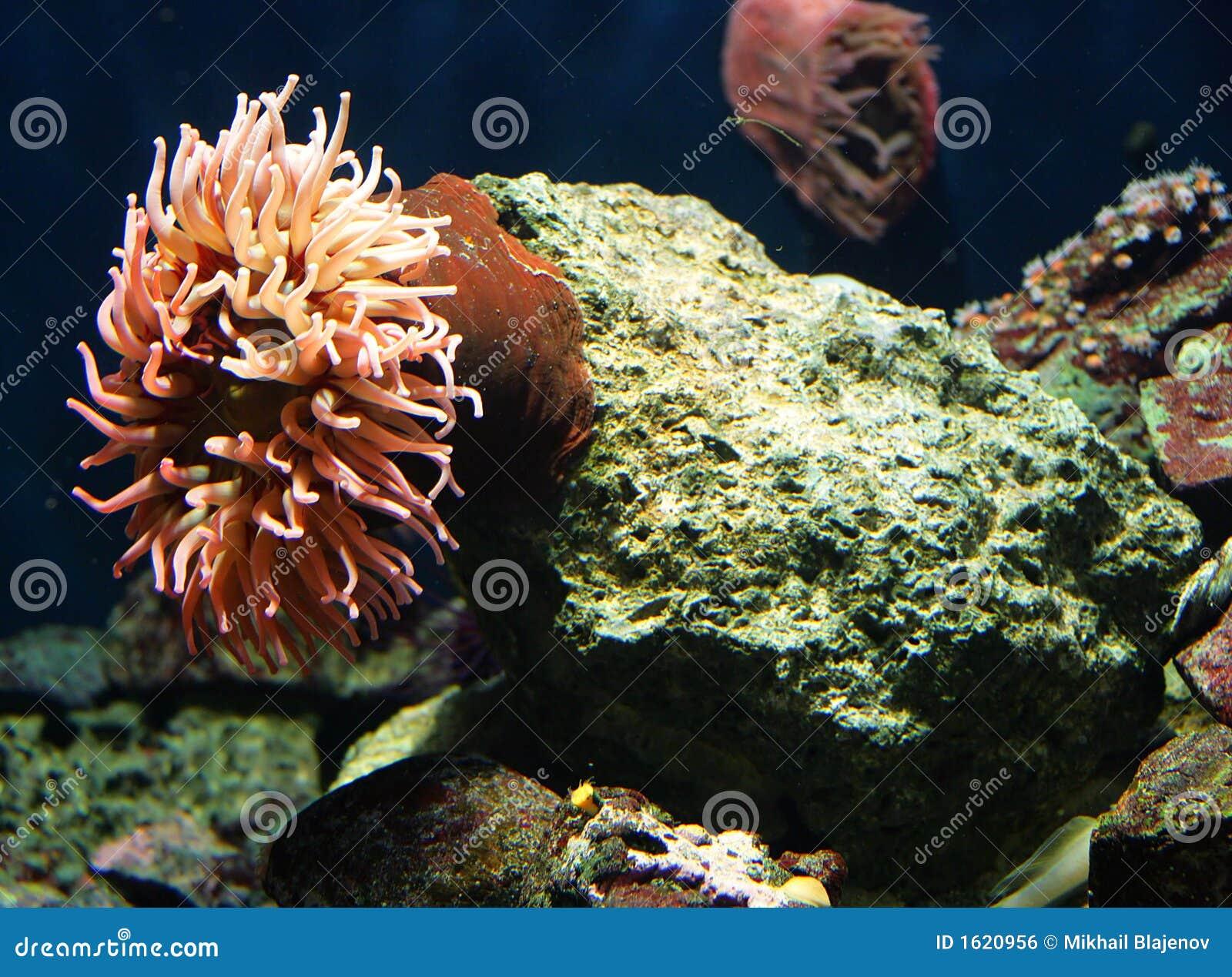 6海葵属珊瑚