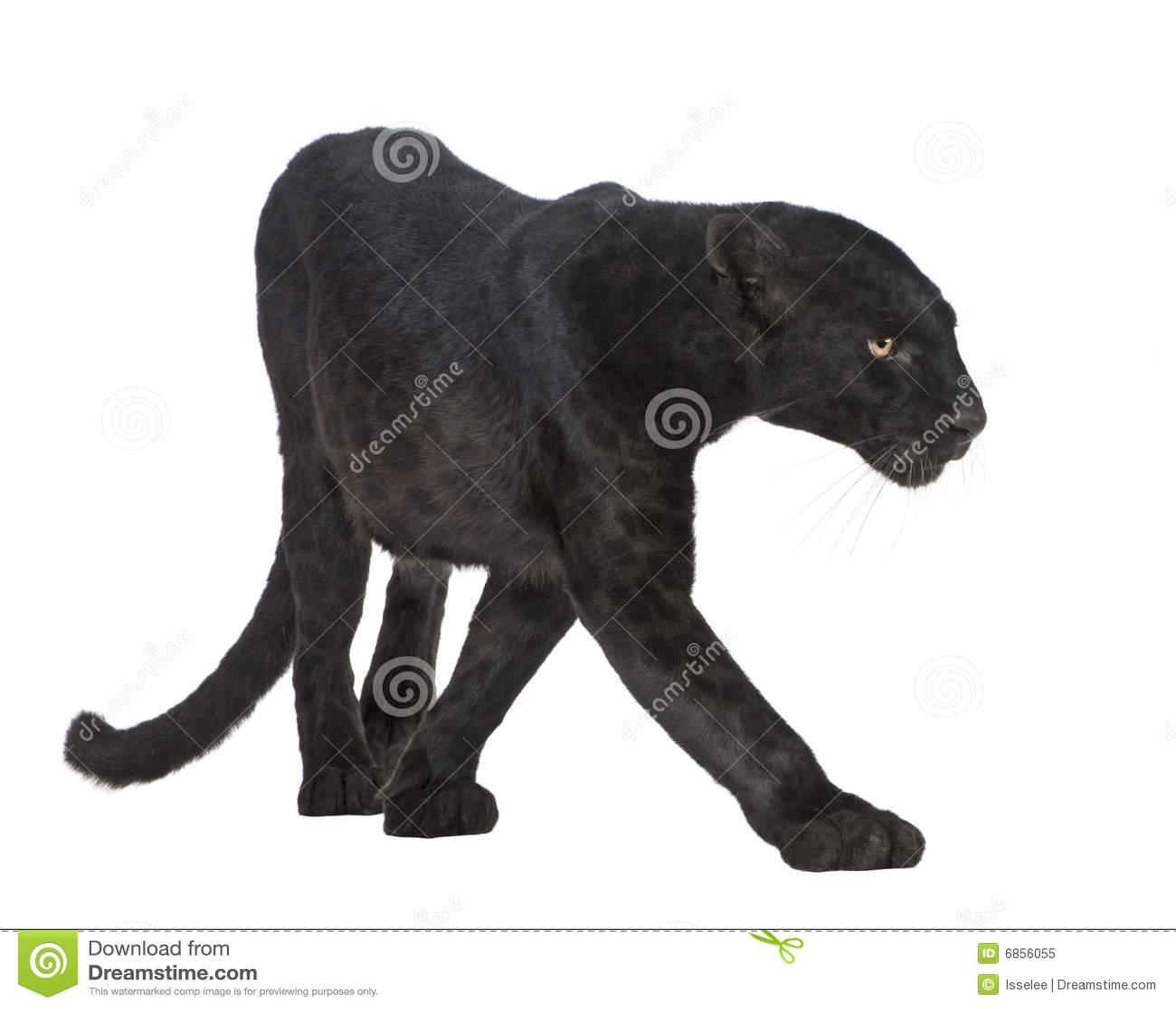 6 черных лет леопарда