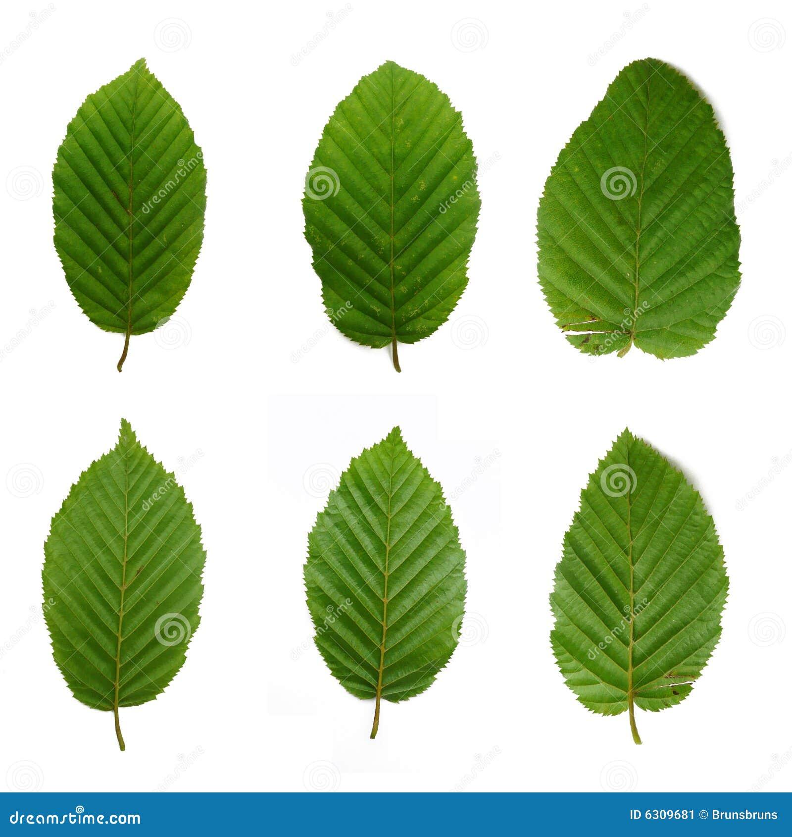 6 beech leafs