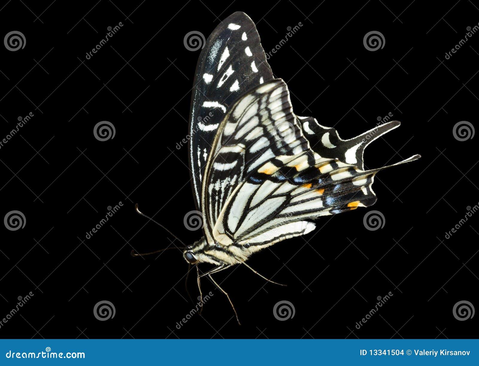 6 motyli papilio xuthus