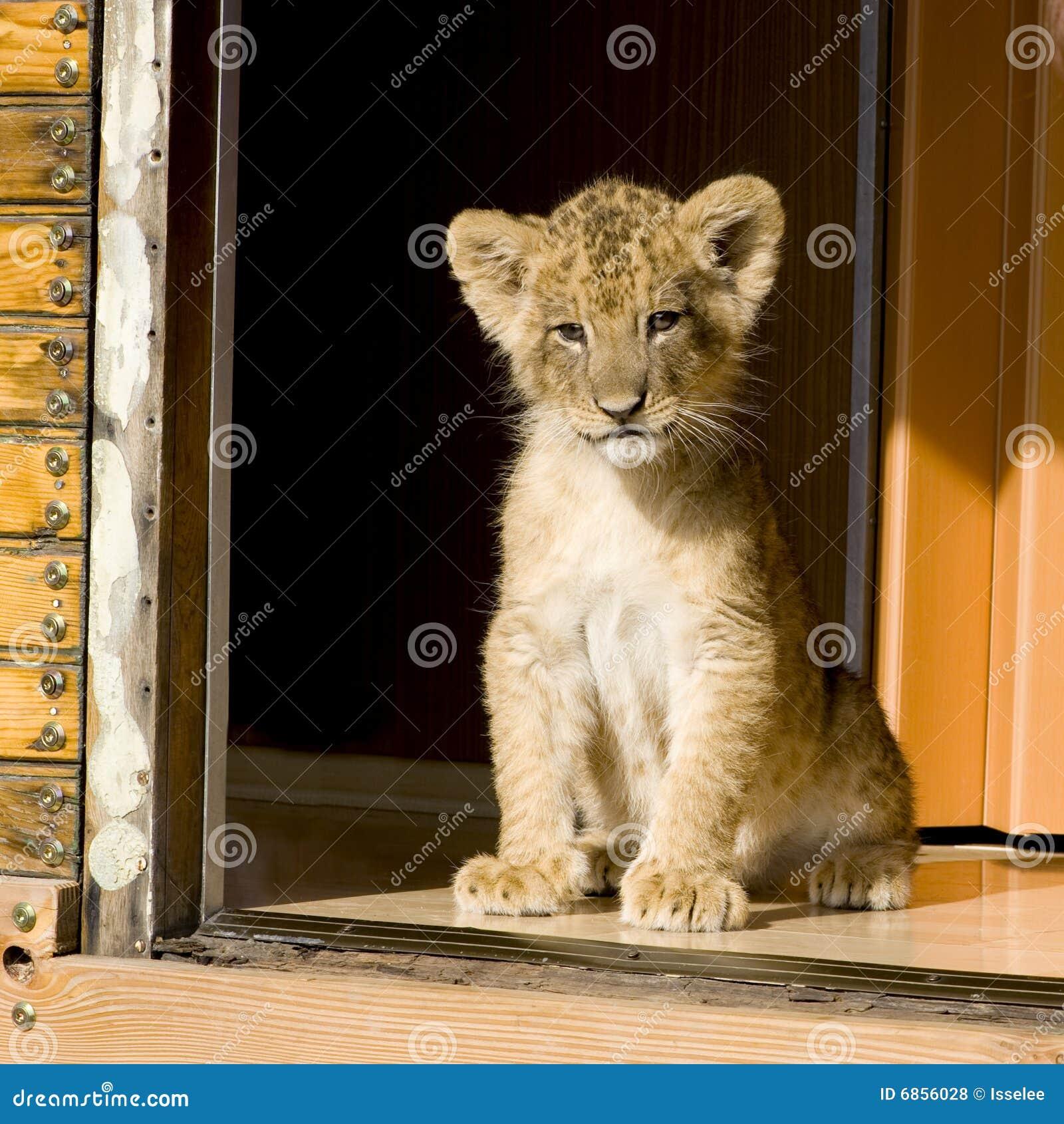 7 неделей льва новичка